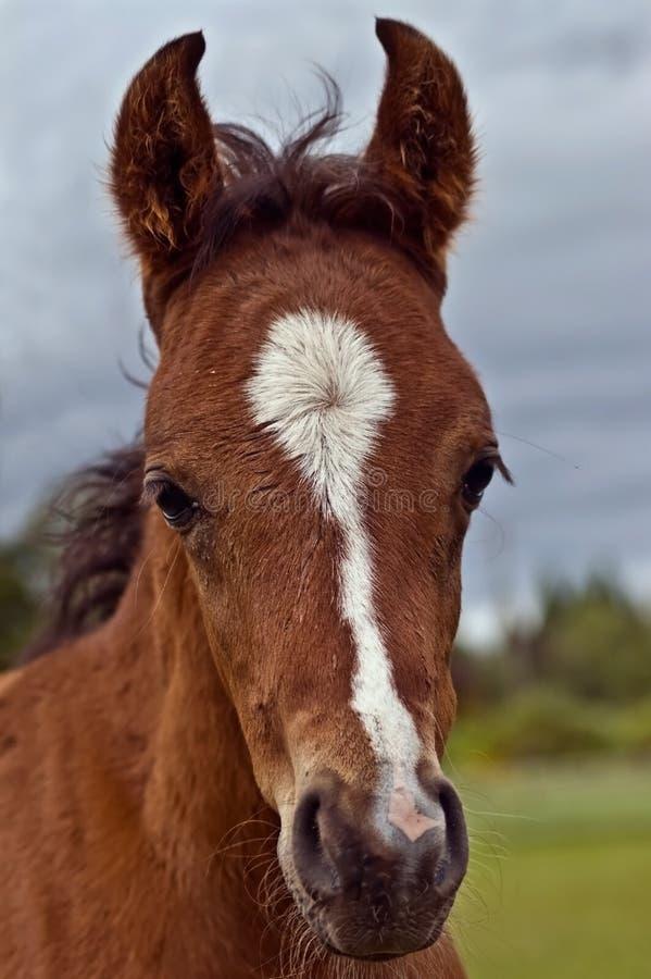 Bay foal head shot royalty free stock photos
