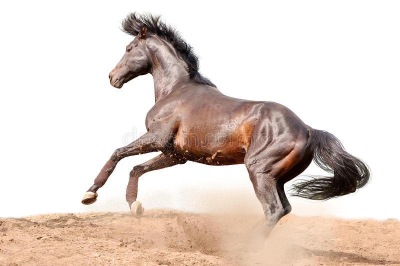 Download Bay Galloping Horse Isolated On White Stock Image - Image: 11801659