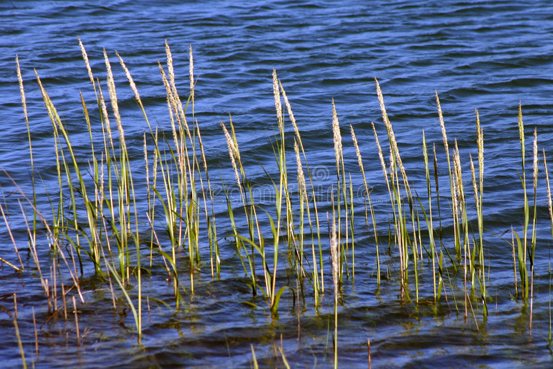 Download Bay Grass stock image. Image of blue, grass, pond, grasses - 1097381