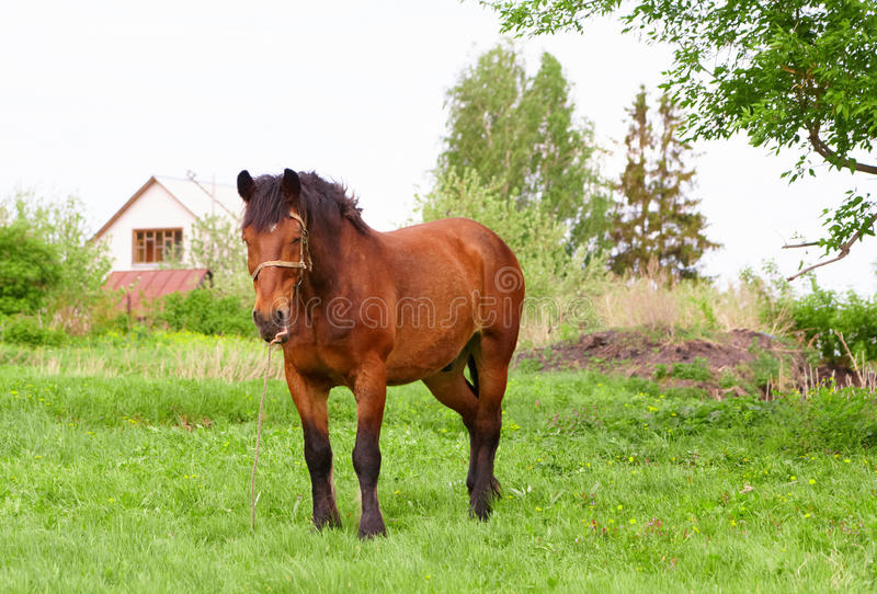 Bay Horse Stock Photography