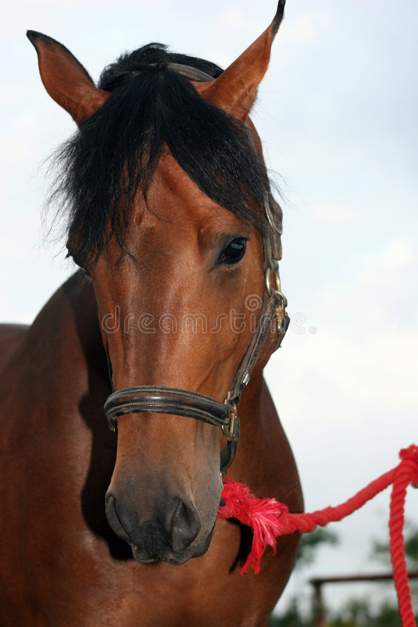 Bay horse royalty free stock images