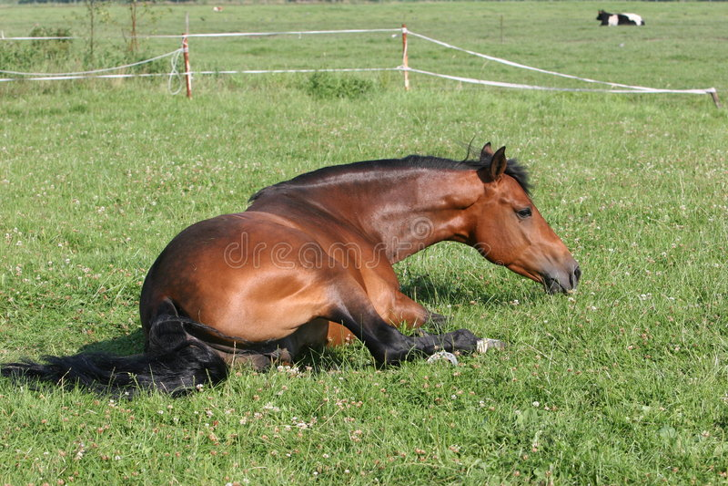 Bay horse royalty free stock photography