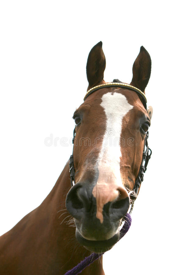 Bay horse stock images