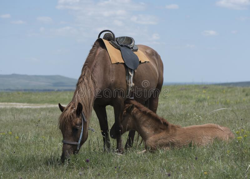 The bay horse also looks a foal. The bay horse with a foal who is grazed on a meadow royalty free stock photos
