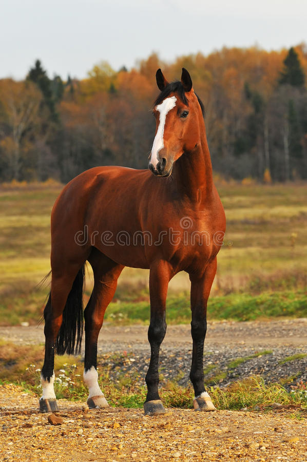 Bay horse in autumn royalty free stock photo