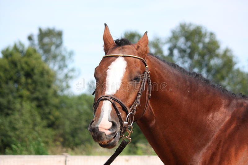 Bay horse with bridle portrait in summer. Bay latvian sport horse with bridle portrait in summer stock photos