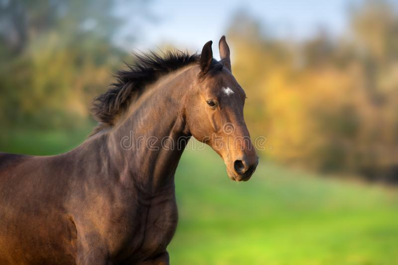 Bay horse close up portrait stock images