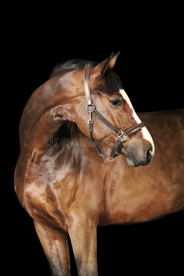 Download Bay horse in the dark stock image. Image of isolated - 18209025