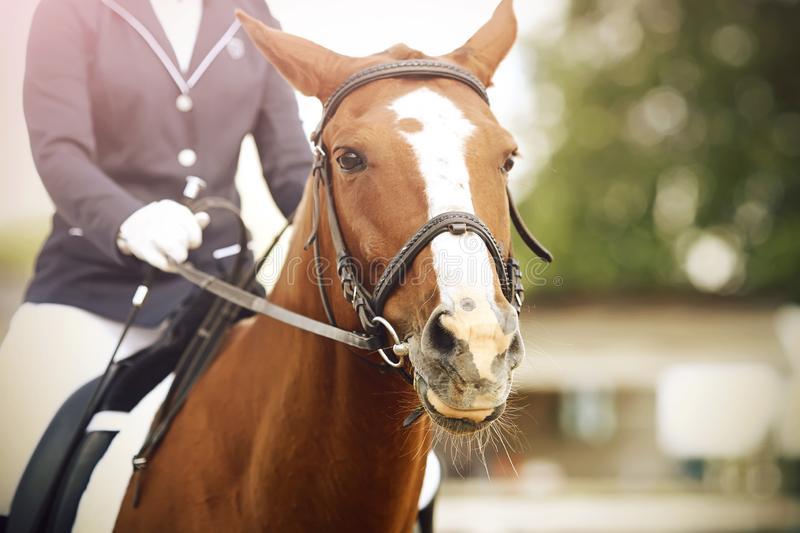 A Bay horse is dressed in dressage equipment, and a rider is sitting on it. A Bay horse with a white spot on its face is dressed in dressage equipment, and a stock images