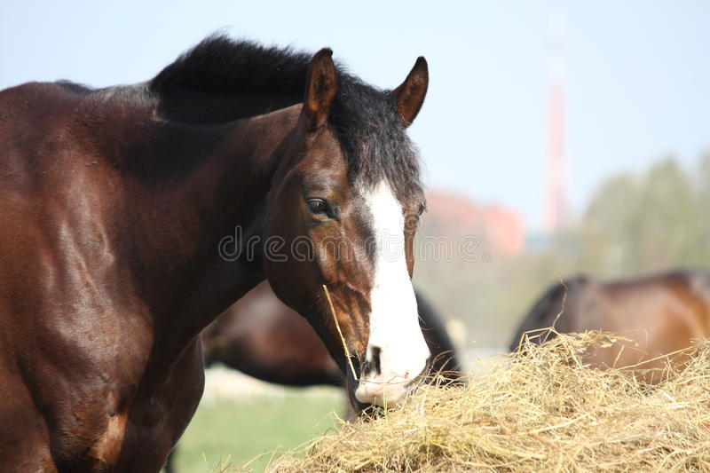 Download Bay horse eating dry hay stock photo. Image of roll, farm - 26809374