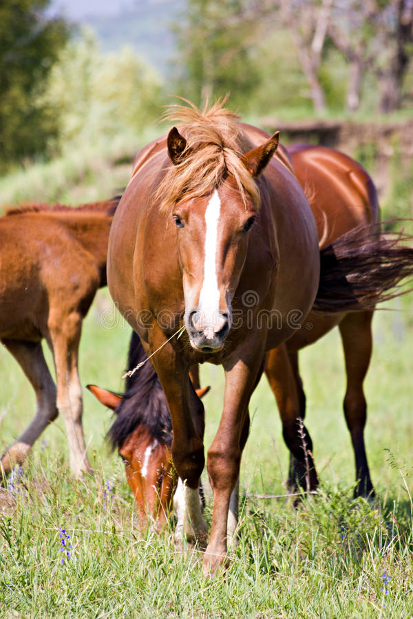 Download The bay horse feeding stock image. Image of fauna, farm - 25484603