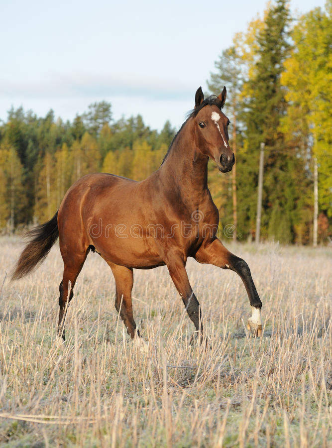Bay horse on field. The bay horse runs gallop in the field in the autumn royalty free stock photos