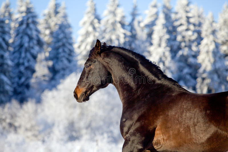 Bay horse gallops in winter stock image