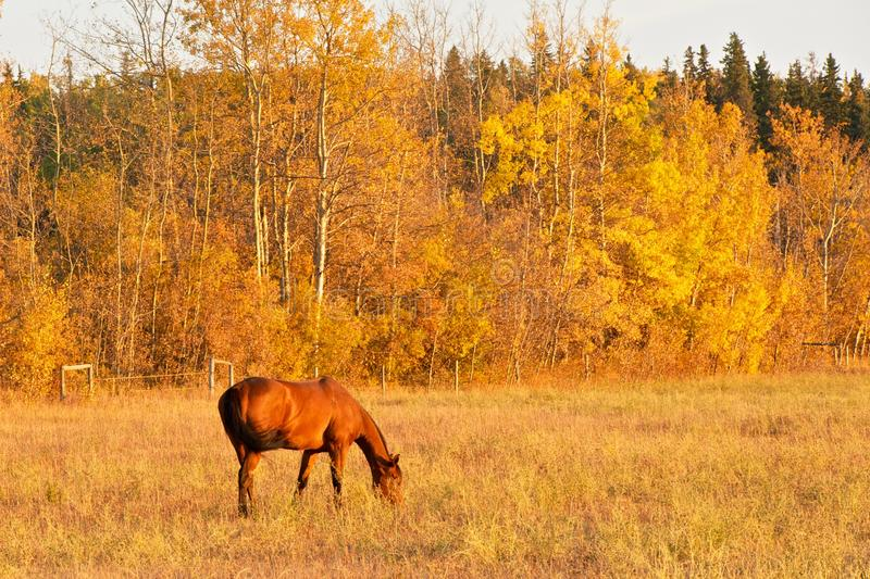 Bay horse gazing in fall royalty free stock photo