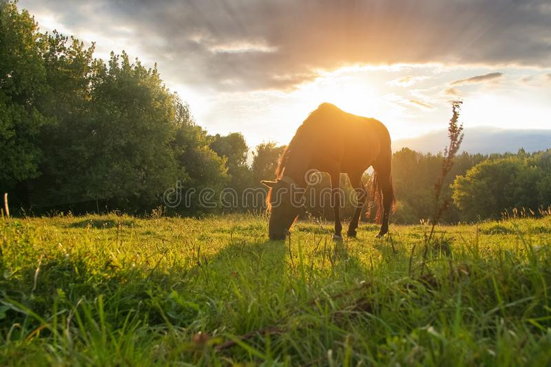 A bay horse is grazing in a green meadow on sunset sky background stock photography