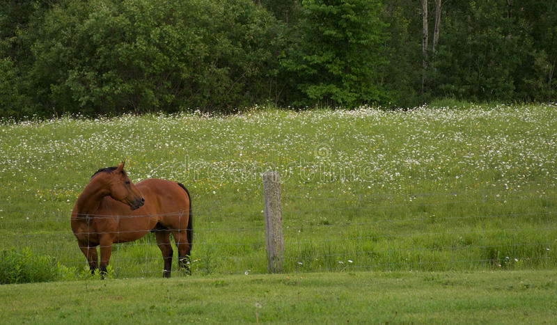 Bay Horse in Green Pasture royalty free stock images