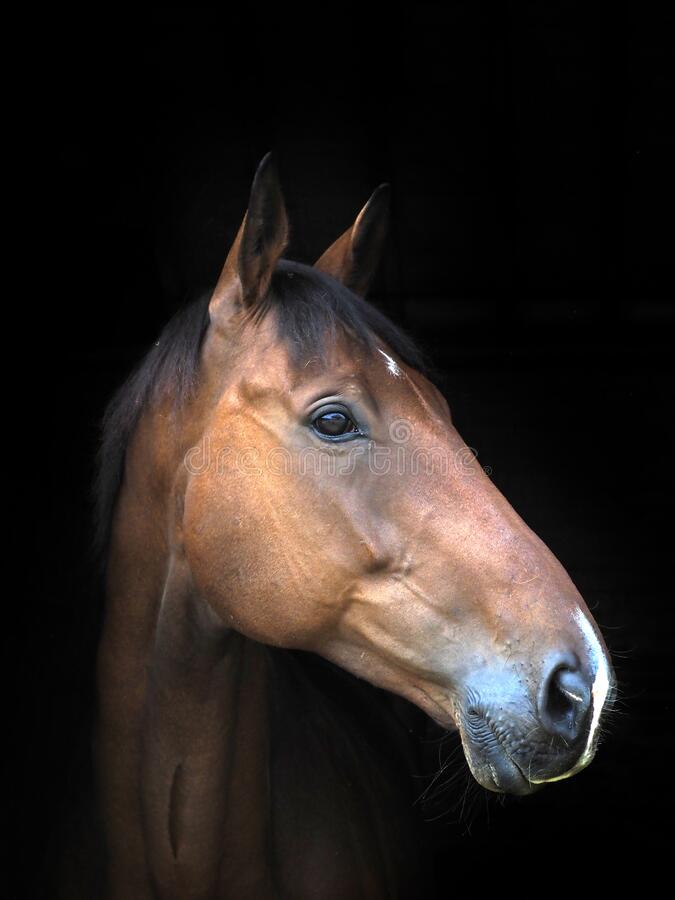 Free Bay Horse Headshot Royalty Free Stock Photos - 189531698