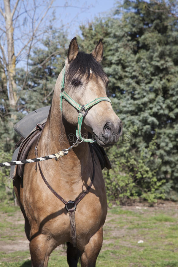 Download Bay horse II stock image. Image of farm, mane, gallop - 14112889