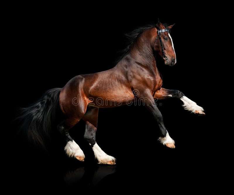 Download Bay horse isolated stock photo. Image of horsepower, equine - 24086098