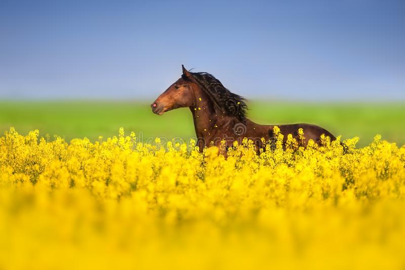 Bay horse on rape stock images