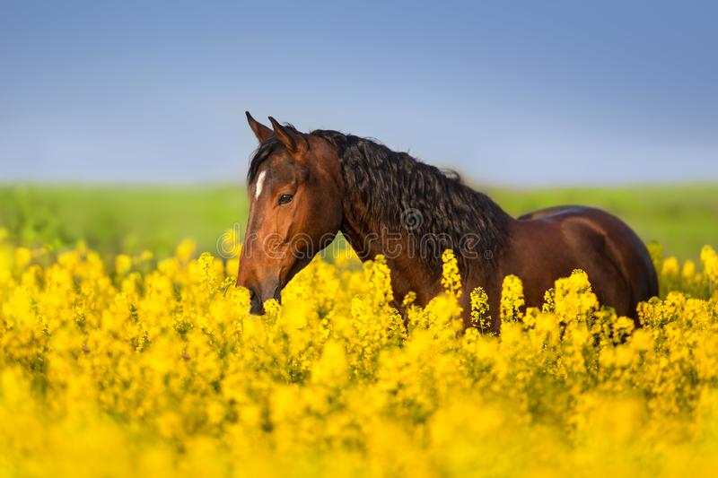 Horse portrait on rape field stock photos
