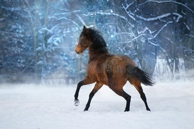 Bay horse in motion stock photo