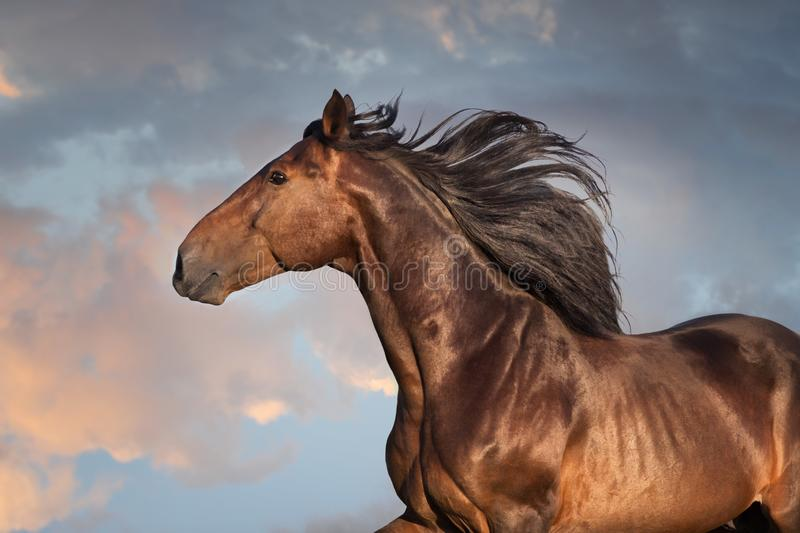 Bay horse portrait. With long mane close up in motion stock photos