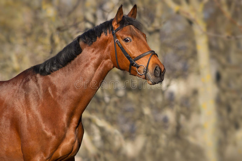 Bay horse portrait. Beautiful bay horse portrait close up royalty free stock images