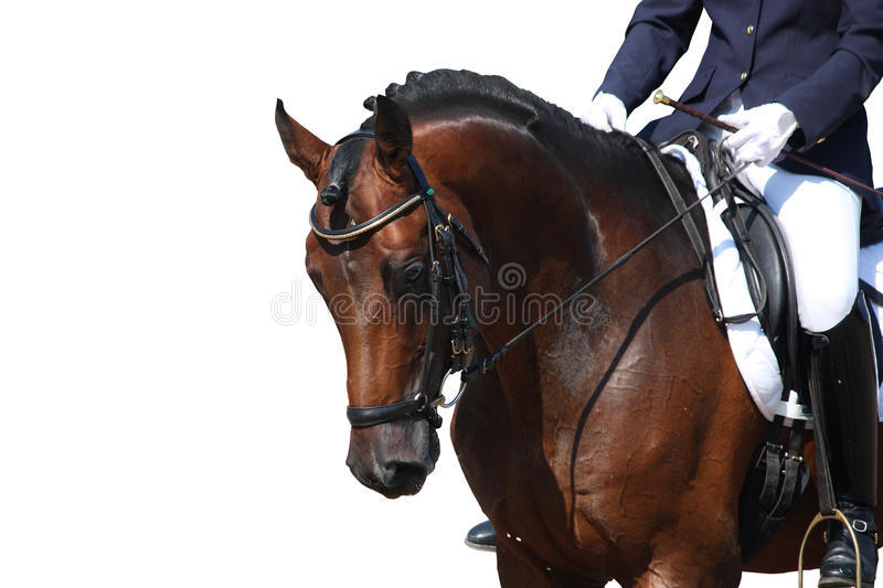 Bay horse portrait isolated on white. Bay horse portrait during dressage competition isolated on white royalty free stock photos