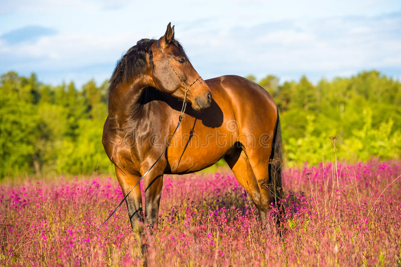 Bay Horse Portrait In Pink Flowers Royalty Free Stock Photography
