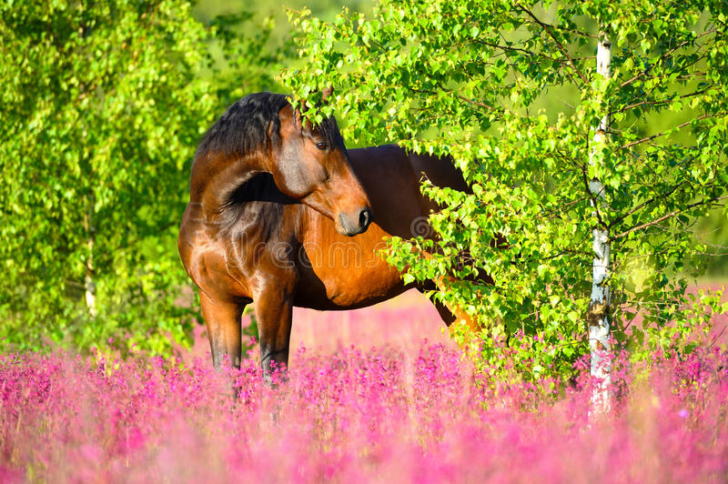 Bay horse portrait in pink flowers in summer. Bay horse portrait on pink flowers and birch backround stock image