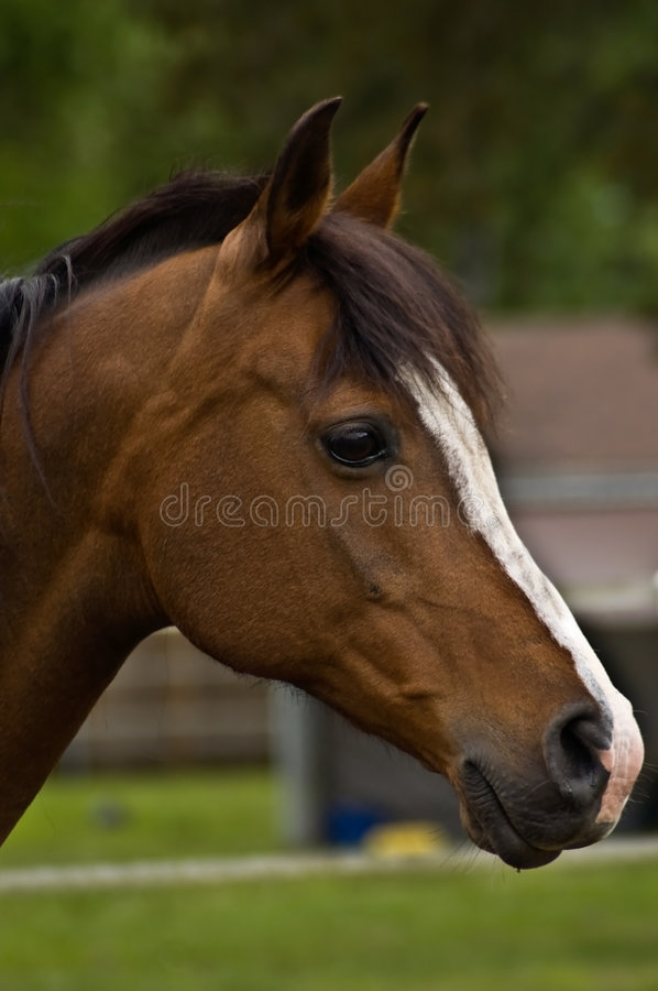 Bay horse in profile royalty free stock images