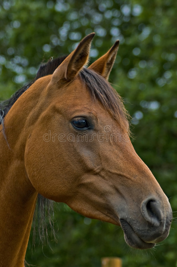 Bay horse in profile royalty free stock photos