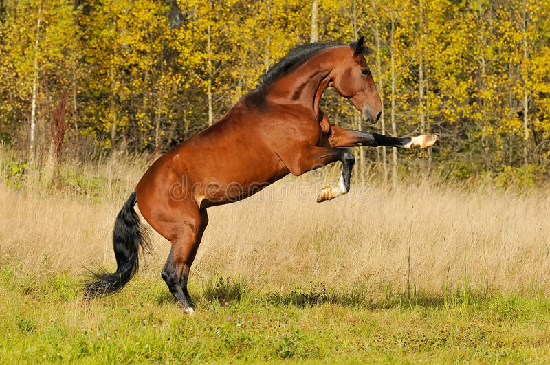 Download Bay Horse Rearinf In Autumn Stock Image - Image: 19037937