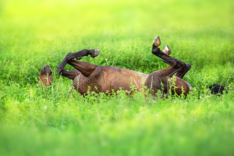 Bay horse roll on back. On green spring grass royalty free stock photography