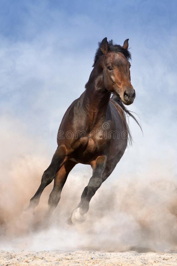 Bay horse run. Bay horse in dust run fast against blue sky stock images