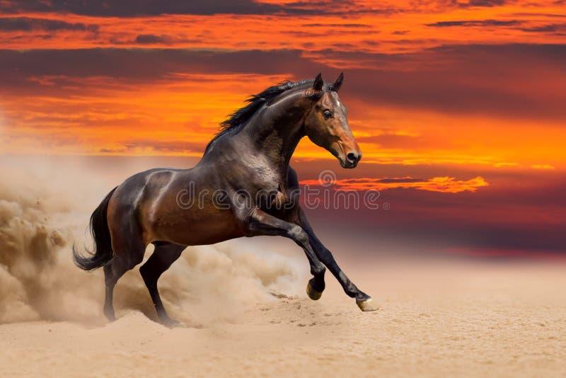 Bay horse run in desert stock photography