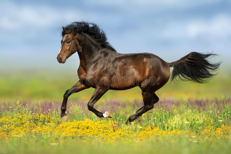 Bay horse run in flowers stock image