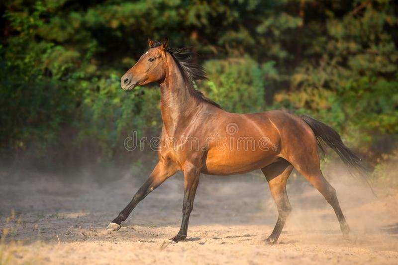 Bay horse run fast. Bay horse run gallop with dust royalty free stock image