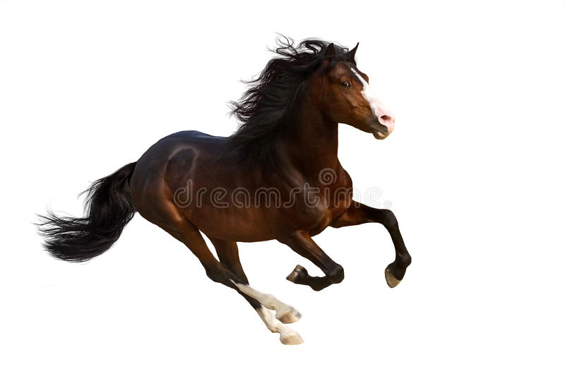Bay horse run. Gallop isolated on white royalty free stock image
