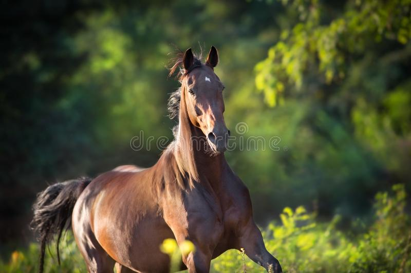 Bay horse run gallop stock photography