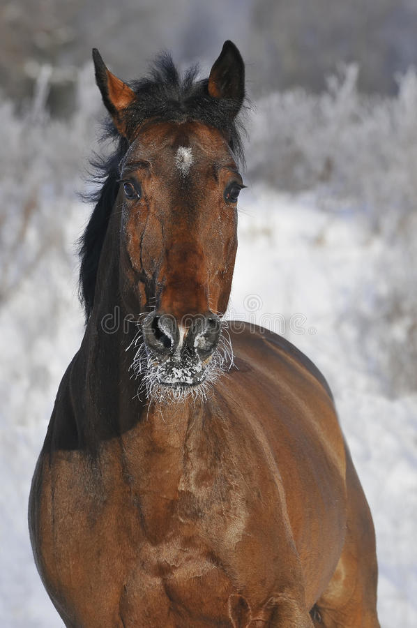 Bay Horse Run Gallop In Winter Stock Photo