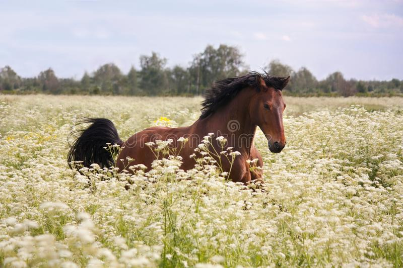 Bay horse running at the field with flowers. Beautiful latvian bay horse galloping at the field with flowers stock photo