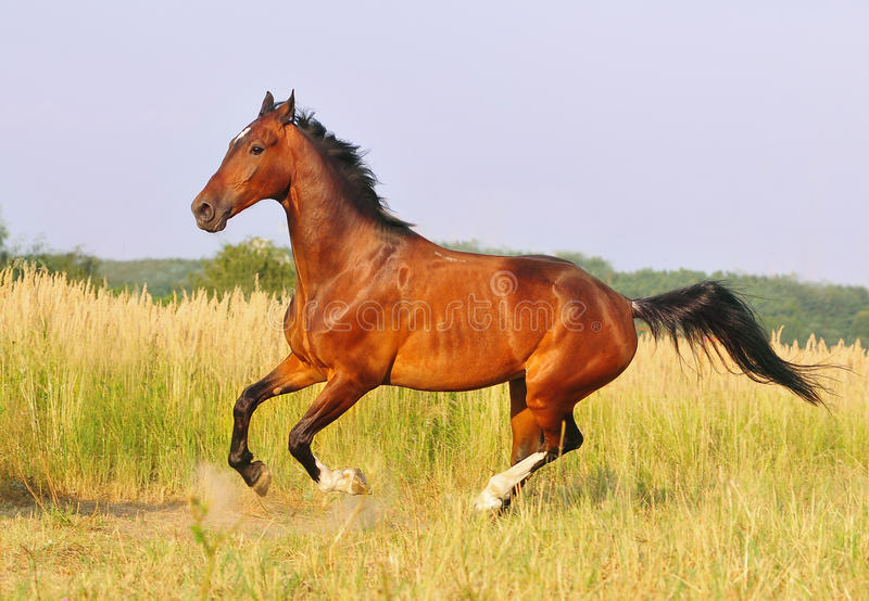 Bay horse running at field in summer royalty free stock photo
