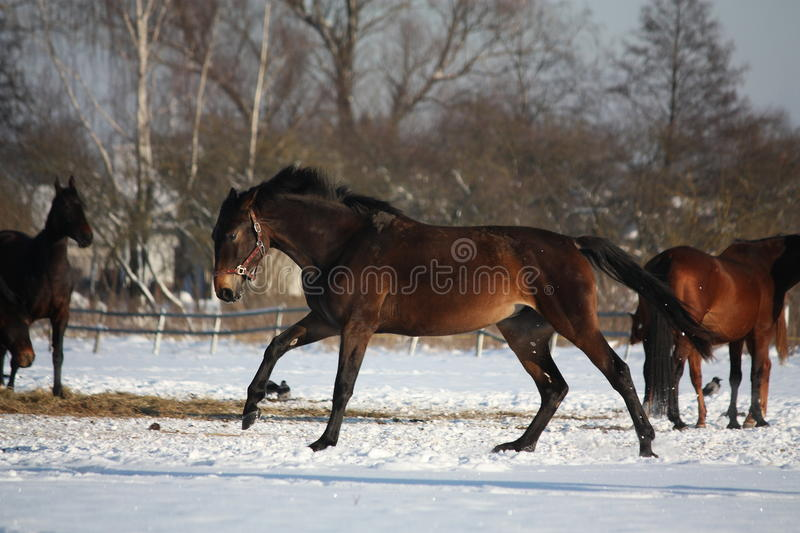 Bay horse running free in winter. Bay horse running free at the field in winter stock images