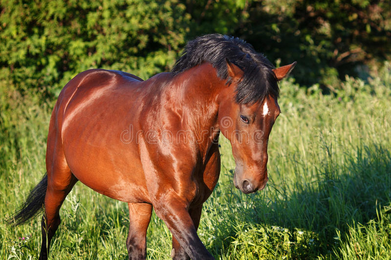 Download The Bay Horse Running Gallop On The Field Stock Image - Image: 83717035