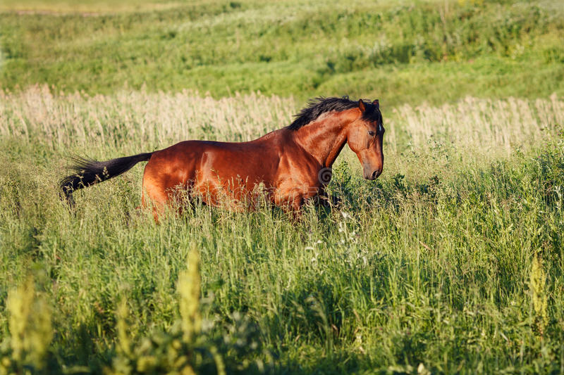 Download The Bay Horse Running Gallop On The Field Stock Image - Image of force, free: 83717249