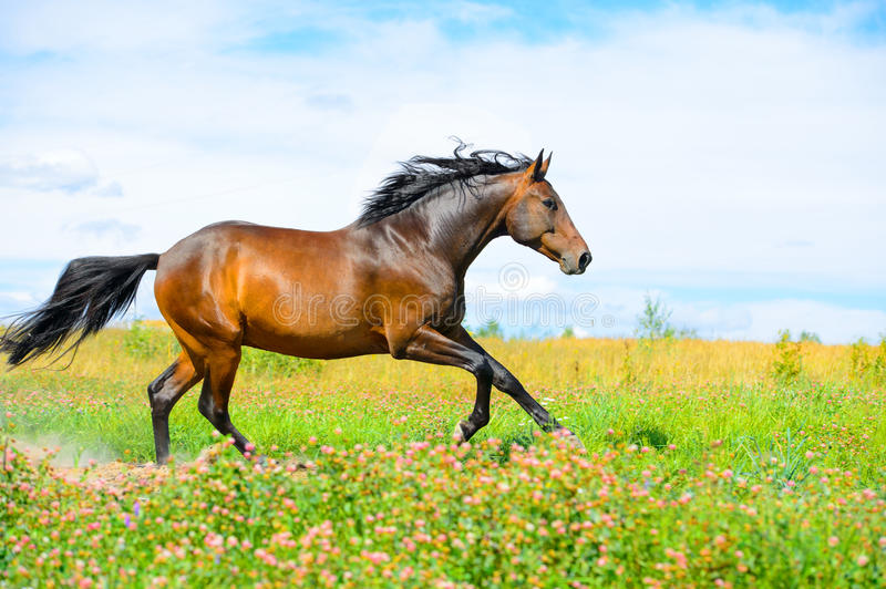 Download Bay Horse Runs Gallop On Flowers Meadow Stock Image - Image: 26283347