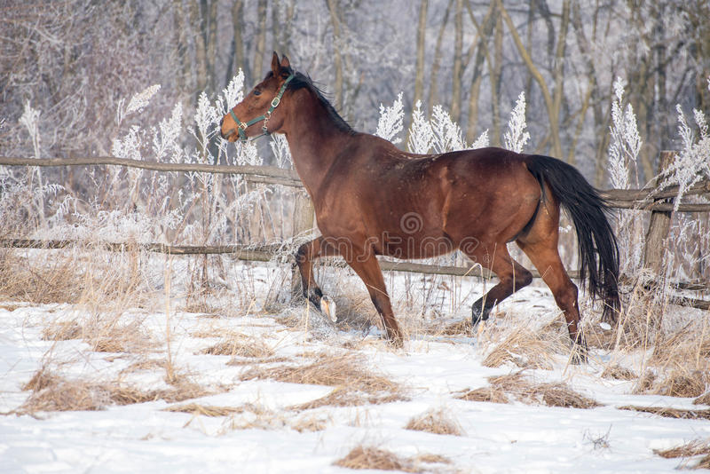 Bay horse on the snow stock images