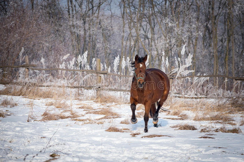 Bay horse on the snow. Horse galloping through the snow royalty free stock photo